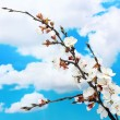 Beautiful apricot blossom on blue sky background — Stock Photo