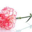 Two pink beautiful carnation isolated on white — Stock Photo