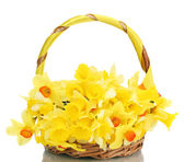 Beautiful yellow daffodils in basket isolated on white — Stock Photo