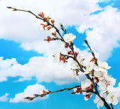 Beautiful apricot blossom on blue sky background — Stock Photo