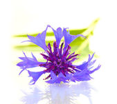 Cornflower isolated on white — Stock Photo