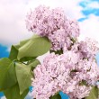 Beautiful lilac flowers on blue sky background — Stock Photo