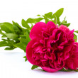 Beautiful pink peony isolated on white - Stock Photo