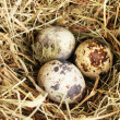 Quail eggs in a nest of hay close-up — Stock Photo #11094636