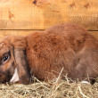 Lop-eared rabbit in a haystack on wooden background — Photo