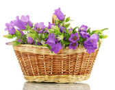Blue bell flowers in basket isolated on white — Stock Photo