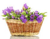Campana azul flores en cesta aislado en blanco — Foto de Stock