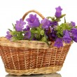 Blue bell flowers in basket isolated on white - Stock fotografie