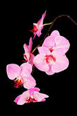 Beautiful blooming orchid isolated on black — Stock Photo