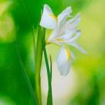 Beautiful iris on green background — Stock Photo #11194584
