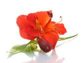 Flores de alstroemeria roja aislado en blanco — Foto de Stock