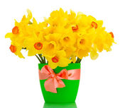 Beautiful yellow daffodils in flowerpot isolated on white — Stock Photo
