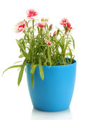 Carnation flowers in flowerpot isolated on white — Stock Photo