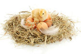 Beautiful little chicken, eggs and eggshell in nest, isolated on the white — Stock Photo