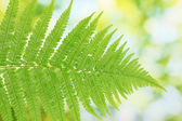 Fern on green background close-up — Stock Photo