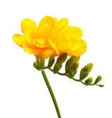 Beautiful yellow freesia isolated on white — Stock Photo