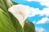 White calla with leaf on sky background close-up — Stock Photo