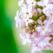 Stock Photo: Branch of pink lilac on green background close-up