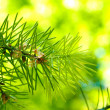 Foto Stock: Branch of fir-tree in garden