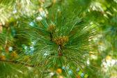 Branch of fir-tree in garden — Stock Photo