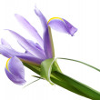 Beautiful iris isolated on white — Stock Photo #11318877