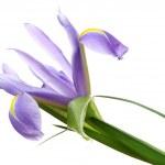 Beautiful iris isolated on white — Stock Photo