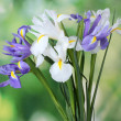 Beautiful bright irises on green background — Stock Photo