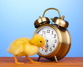 Duckling and alarm clock on wooden table on blue background — Stock Photo