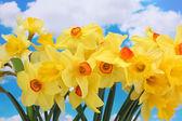 Beautiful yellow daffodils on blue sky background — Stock Photo
