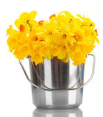 Beautiful yellow daffodils in a bucket isolated on white — Stock Photo