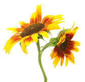Beautiful sunflowers , isolated on white — Stock Photo