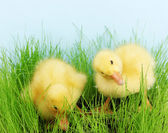 Duckling in green grass on blue background — Zdjęcie stockowe