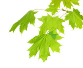 Maple leaves isolated on white — Stock Photo