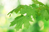 Maple leaves on green background — Stock Photo