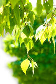Green birch leaves on green background — Stock Photo