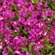 Purple bougainvillea flower close-up - Photo