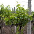 Young vineyard - Stock Photo