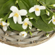 Beautiful jasmine flowers with leaves isolated on white — Stock Photo