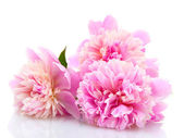 Pink peonies flowers isolated on white — Stock Photo