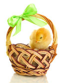 Beautiful little chicken in basket isolated on the white — Stock Photo
