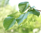 Linden green leaves on green background — Stock Photo