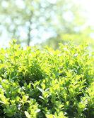 Beautiful green bush close up — Stock Photo
