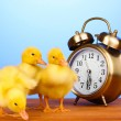 Duckling and alarm clock on wooden table on blue background - Stock Photo