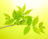Branch with green leaves on green background — Stock Photo