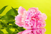 Pink peony on green background — Stock Photo