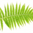Fern on white background close-up — 图库照片