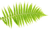 Fern on white background close-up — Stock Photo