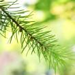 pobočka jedle-strom v zahradě — Stock fotografie