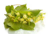 Branch of linden flowers isolated on white — Stock Photo
