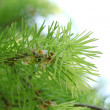 Stock Photo: Branch of fir-tree in garden